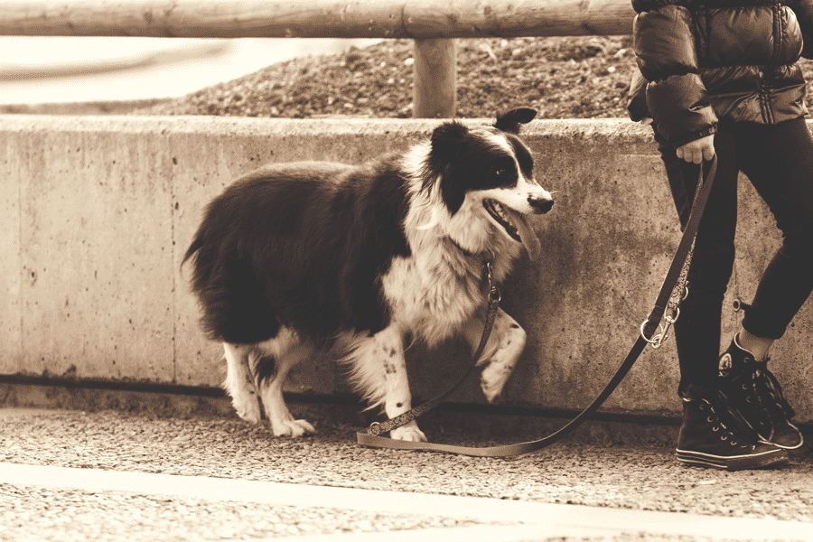 wag app review my experience as an on demand dog walker