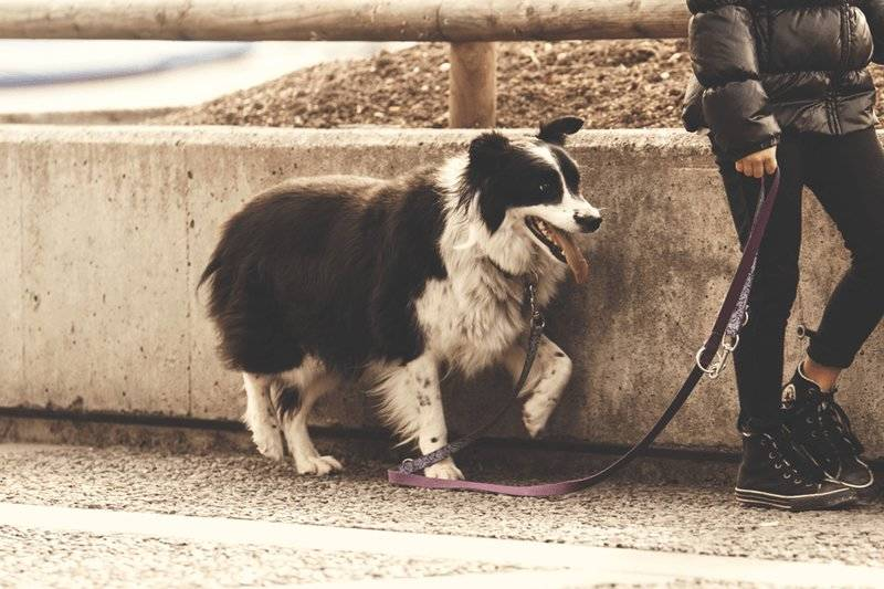 Wag App Review - My Experience As An On-Demand Dog Walker